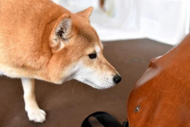 匂いをかぐ柴犬