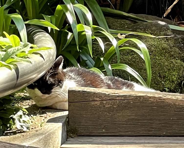 柳森神社の猫